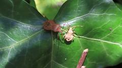 The Dockmother....... (The Mad Macrographer) Tags: video coreusmarginatus dockbug insect macro canon7d canonef100mmf28lmacroisusm peterborough uk nikkvalentine