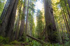 017_7758 (pdxsean) Tags: california crescentcity delnortecounty redwoods prairiecreek hike