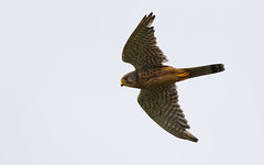 Kestrel (Male) (SalfordMartin) Tags: malekestrel kestrel leightonmoss