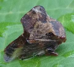 Tree Hopper (Keith Roragen) Tags: nebraska insect hemiptera auchenorryncha membracidae treehoppers telemona omaha