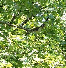 Yellow-billed Cuckoo_N8767 (Henryr10) Tags: ottoarmlederpark hamiltoncountyparkdistrict cincinnati ottoarmledermemorialpark armlederpark littlemiamiriver greatparksofhamiltoncounty yellowbilledcuckoo cuckoo coccyzus coccyzusamericanus avian bird vogel ibon oiseau pasare fågel uccello tékklistar ybcu