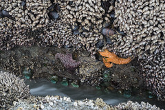 Beach 4, Olympic National Park, tide pools, starfish, anemone (kurtloup) Tags: beach4 olympicnationalpark tidepools starfish anemone nikkor 55mm f35 micro ais barnacles clams