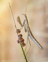 parda (gatomotero) Tags: mantis parda ocres verano summer agosto nature junco posado olympusomdem1 mzuiko60