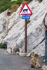 Slow ape (TimOve) Tags: vacation ferie trip summer sommer slowsign ape barbarymacaque rockape gibraltar therock furry road sitting