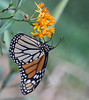 A Monarch on Milkweed (rivadock4) Tags: butterfly weed monarch milkweed butterflyweed monarchbutterfly