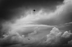 El color del olvido (Mathias Bra) Tags: gaviotas cielo blancoynegro volar