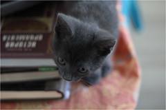 IMG_2505 (murkla_la) Tags: cat russianblue moussie gray graycat