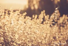 Amanecer (jesus pena diseo) Tags: jpena jpenaweb jesuspenadiseo madrid spain trigo campo sunset sun summer nature