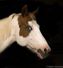 Halo Portrait (adamsteineke) Tags: horse lowkey portrait incompletestrobistinfo removedfromstrobistpool seerule2