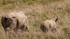 Southern white rhinos (billd_48) Tags: ohio summer animals captive thewilds rhinosaurus cumberland oh usa