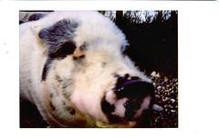 Poppy (R. Drozda) Tags: fairbanks alaska northpole ravenveterinaryclinic poppy fujiinstaxmini instantfilm pig myfavoritepig drozda littledoglaughednoiret