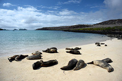 Sea Lions, Isla Santa Fe, Galapagos Islands, Ecuador (alextsui86) Tags: ecuador galapagos islands sea lion isla santa fe beach