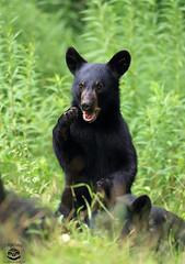 Shocking (Megan Lorenz) Tags: blackbear bear cub bearcub animal mammal babyanimals nature wild wildlife wildanimals ontario canada mlorenz meganlorenz