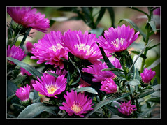 Herbstastern (karin_b1966) Tags: blume flower blte blossom pflanze plant garten garden natur nature 2016 herbstastern