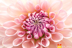 Dahlia-17 (Nualchemist) Tags: flower plant nature simplyflowers petals pink bloom green greenleaves floralphotography dahlia yellow red summer fullbloom botanical bright light floral heavenly macro orange 2016dahiashow colorful white closeup delightful glorious magical soft goldengatepark pretty palepink lightpink enchanting sanfrancisco singleflower cheerful joyful delight california colors palette botanicalgarden organicpattern purple lavender designbynature geometric elementsofdesign silky velvet softlight veil tender