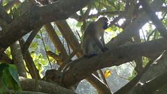 Vervet Monkey (Rckr88) Tags: portstjohnseasterncape southafrica port st johns portstjohns easterncape eastern cape south africa vervet vervetmonkey animals animal mammal mammals greenery green trees tree forest forests travel outdoors nature