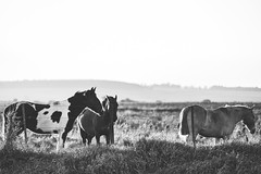 Pastando al atardecer. (Pablin79) Tags: field landscape sunset sun light outdoor grass animal horse shadows countryside pasture agriculture pets rural farm outdoors horizontal afternoon argentina mammal misiones posadas noperson