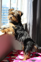 Little Janis (_skycrash) Tags: yorkshire janis joplin janisjoplin puppy dog