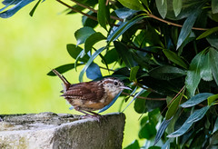 Dropped in for a Chat (Explore 29 Aug 2016) (Gabriel FW Koch (fb.me/FWKochPhotography on FB)) Tags: animal outdoor bird wren carolinawren songbird wild garden summer wildlife nature sun sunlight bush shrub canon lseries telephoto bokeh eos dof outside shade feathers eyes