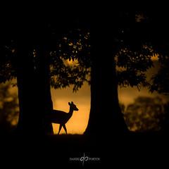 Morning Stroll - #2 (Dan Portch) Tags: deer deerling golden morning knole knolepark sevenoaks sevenoaksknolepark wildlife animals kent