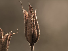 "fine art style colour aquilegia seed pods, a Potterton garden, Aberdeenshire, Scotland (grumpybaldprof) Tags: canon 100 100mm f28 macro ""isusm"" ""canonef100mmf28lmacroisusm"" aquilegia columbine ""granny'sbonnet"" ""cardiogenictoxins"" ""fineart"" detail light shadow ""seedpods"" seeds ""flowerheads"" brown ""goldenbrown"" eagle ""coloradobluecolumbine"" fineart fine texture colour sumptuous tone lines flower stack dof"
