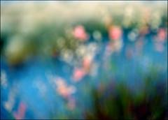 F_DSC7495-1-1-Nikon D800E-Nikkor 28-300mm-May Lee  (May-margy) Tags:  maymargy         flowers fdsc749511 silvergrass riverbank linesformandlightandshadows mylensandmyimagination naturalcoincidencethrumylens blur motion bokeh    taichungcity taiwan repofchina nikond800e nikkor28300mm maylee