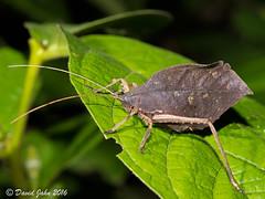 Dead-Leaf Katydid (Typophyllum sp.) (David A Jahn) Tags: pterochrozini katydid costarica tettigoniidae leaf deadleaf typophyllum