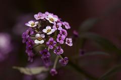 Alysse (S@ndrine Nel) Tags: alysse fleur flora flower flore blossom bloom nelsandrine