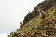 bighorn sheep (capnadequate) Tags: yellowstonenationalpark yellowstone alpine subalpine mtwashburn mountain nature bighornsheep animal mammal rocks