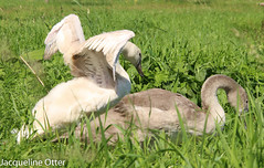 young swan (jacqy85) Tags: swan zwanen knobbelzwanen
