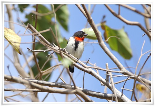 Red-chested Flowerpecker@Rote Island_160805_3