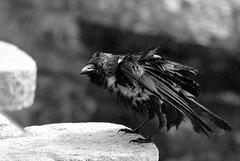 Soaked Crow (AusBenClicks) Tags: austin benjamin kuhoor felin dhivya jeffin max lalgudi trichy photography