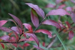 Punaisia lehtiä (Ebba Blomqvist) Tags: red nature leaves sysmä autumn