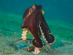 Morning push-ups (Christian Gloor (mostly) underwater photographer) Tags: coconut octopus amphioctopus marginatus underwater diving nauticam olympus omd em5 lembeh sulawesi indonesia