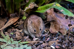 Bank Vole (Linda Martin Photography) Tags: myodesglareolus hampshire blashfordlakes bankvole wildlife canon5dmkiv uk nature coth