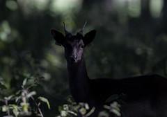 3H8A4073 (shay connolly) Tags: fallow deer dublin phoenix parl wildlife shay connolly