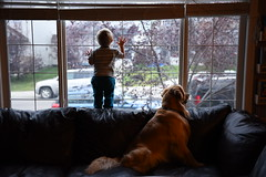 Waiting (Troy Bourque) Tags: okotoks home sam roper window calgary alberta canada dogs kids golden