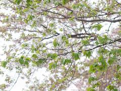 (kasa51) Tags: pink flower green leaves japan digital lumix leaf panasonic cherryblossom sakura yokohama f18 olympuspen 45mm   gf1 totsuka  mzuiko