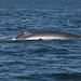 Boothbay Whale Watch - Finback