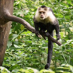 White-headed Capuchin (Foto Martien (thanks for over 2.000.000 views)) Tags: holland southamerica netherlands dutch forest zoo nederland ape primate apenheul aap veluwe apeldoorn centralamerica capuchinmonkey tanque dierentuin gelderland dierenpark monocarablanca capuchino primaat cebuscapucinus whitefacedcapuchin monocapuchino cebidae kapucijnaap primatepark monkeyzoo kapuzineraffe a550 whiteheadedcapuchin machn sapajoucapucin capucinmoine cebinae weisschulterkapuziner witschouderkapucijnaap martienuiterweerd martienarnhem sony70300gssmlens sonyalpha550 caritablanca mygearandme mygearandmepremium mygearandmebronze mygearandmesilver mygearandmegold mygearandmeplatinum capucinfaceblanche dblringexcellence fotomartien tplringexcellence maicerocariblanco macacopregodecarabranca eltringexcellence caurara gorgonawhitefrontedcapuchin witkeelkapucijnaap