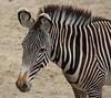 "Amersfoort Zoo zebra <a style=""margin-left:10px; font-size:0.8em;"" href=""http://www.flickr.com/photos/78486882@N04/7143170887/"" target=""_blank"">@flickr</a>"