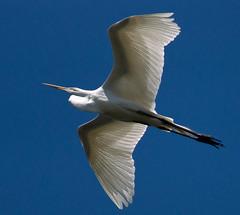 Translucent... (phenix) Tags: bird minolta snowy sony flight 300mm delaware egret f4 a77 thegalaxy beckspond dblringexcellence tplringexcellence