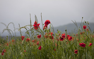 regenmohn - poppies in the rain