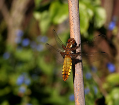 dragon fly (teldow) Tags: summer cane dragon dragonfly beautifulbug