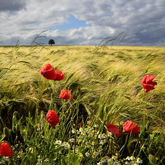 windy afternoon (pierre hanquin) Tags: flowers blue light sky cloud sun flower color colour tree green nature fleur colors field clou