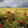 windy afternoon (pierre hanquin) Tags: flowers blue light sky cloud sun flower color colour tree green nature fleur colors field clouds fleurs landscape geotagged rouge soleil spring nikon europa europe colours belgium belgique cloudy couleurs champs belgië bleu ciel poppy poppies fields grün blau nuage nuages paysage landschaft arbre printemps couleur liège wallonie coquelicots 1685 pavots hannut 1685mm d7000 1685mmf3556gvr magicunicornverybest magicunicornmasterpiece mygearandme mygearandmepremium mygearandmebronze mygearandmesilver mygearandmegold hanquin