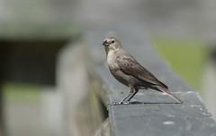 Brown-headed Cowbird (Molothrus ater) (((Ospr3y))) Tags: nature ga dof nikond70 brownheadedcowbird molothrusater augustaga richmondcounty phinizyswampnaturepark sigmaaf70300mmf456apodgmacrolens liamwolff