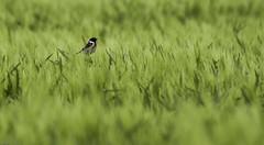 Roodborsttapuit, stonechat (bartseyshoutem) Tags: bird birds flickr zon vogel stonechat tarwe roodborsttapuit houtem sigma150500 pentaxk5 bartseyshoutem bartseys