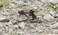 IMG_3350 (rpealit) Tags: nature wheel scenery dragonflies wildlife hyper newton whiteface humus copulation dottailed