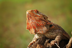 beard dragon (shikhei) Tags: specanimal fantasticnature specialpicture goldsealings physis flickrsfinestimages1